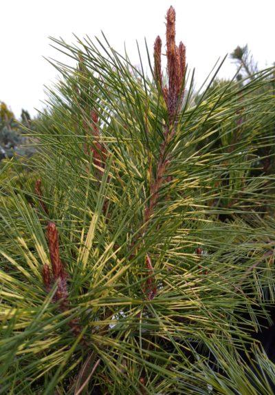 sosna pinus densiflora oculus draconis